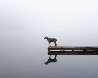 Dog Photography Art, 16x20 Canvas, Weimaraner Art, Gift for Dog Lover, Dock Dog