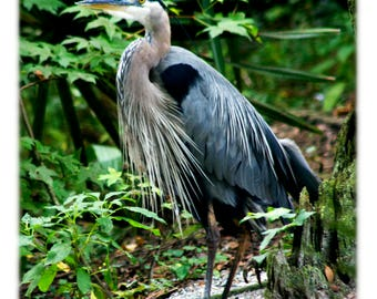 Great Blue Heron - SC