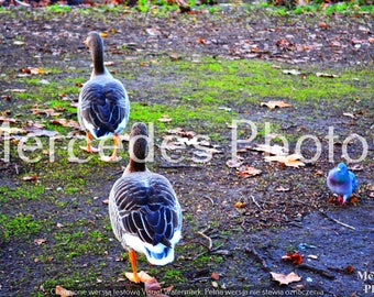 Unframed poster Ducks Having a Walk, Printable wall art, Home décor, Landscape photography, photo, picture, poster, image, Nikon D5200