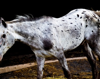"Animal Photography, ""The Horse Still Sees"" Print Horse Animal Wall Art Prints"