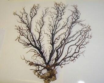 "Mini Size 5 7 9"" Natural Dried Black Sea Fan Coral Natural Chocolate Brown Coastal Home Decor Floral Arrangement DIY Terrarium Craft Supply"