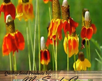 MEXICAN HAT CONEFLOWER Seed - Red Prairie Flower Seeds  - Returns each spring forming expanding clump, Choose From 1,500 or 23,000 x