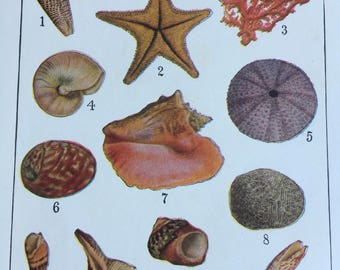She sells seashells 1930s encyclopedia illustration i've common sea shells