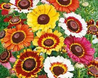 500 Painted Daisy Seeds Chrysanthemum Flower Seeds