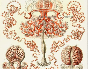 Jellyfish Formations Haeckel Print Natural History Oceanography Victorian Scientific Lithograph To Frame 46
