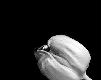 Tulip Still Life, Black and White Photography, Grey, Flower, Nature, Home Decor 8x10 Print, Botanical Study...