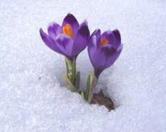 Crocus Flower Essence