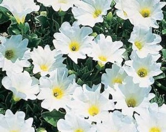 Nolana 'Snow Bird' 30 Seeds