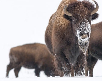 Buffalo on White, Bison in Snow, Snow Buffalo