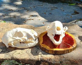 Raccoon skull/Animal Skull/Real Skull/Bone (skull only)