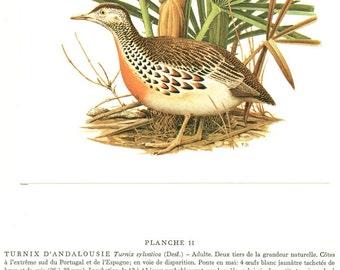 Buttonquail print 1960 Vintage bird artwork Antique bird picture of button quail Vintage bird decor Bird art Bird gift