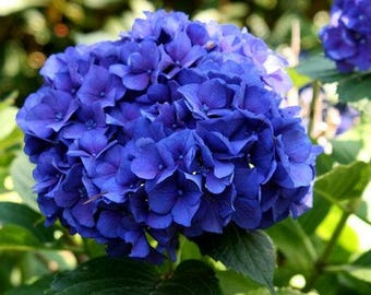 10pc Hot Gorgeous Blue Hydrangea Flower Seeds Easy To Plant Ideal Garden