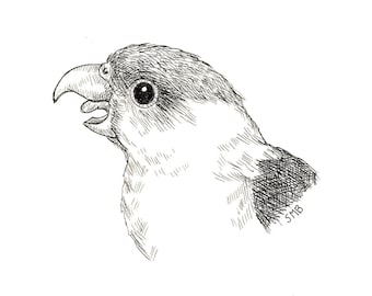 Sally Blanchard Original Pen and Ink Portrait Drawing of a Grey-cheek Parakeet (Gray-cheek parakeet)