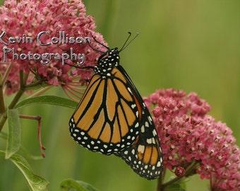 Monarch butterfly on rose milkweed