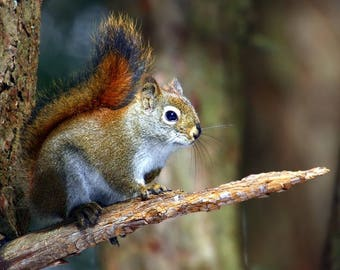 Red squirrel 2 laminated placemat
