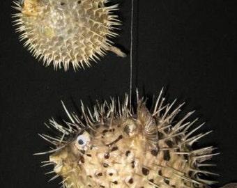 "5"" PORCUPINE FISH,Taxidermy,Sea life, Marine Life,Preserved Porcupine fish,free shipping"