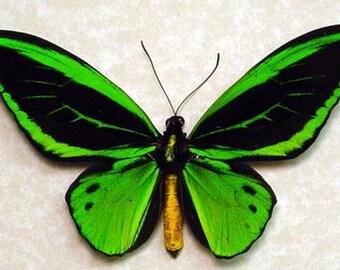 Birdwing Butterfly 584