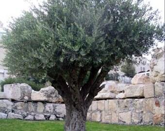 Olive Tree Seeds, Olea europaea - 25 Seeds