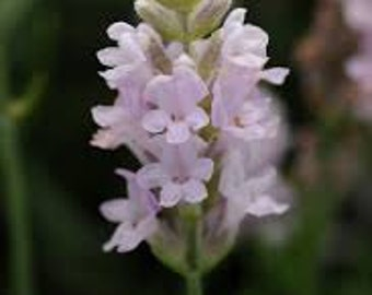 HLE) ELLAGANCE PINK Lavender~Seeds!!!~~~~Something New in Lavenders!