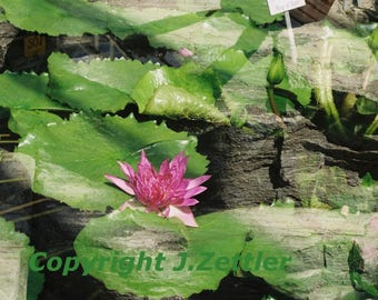 Water Lily and Rock, Double Exposure, Print, Fine Art Photography, Nature Trend