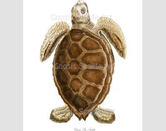 Coastal Decor Sea Turtle Art Print no.1 Beach Art Decor, Nautical Art Decor, Nursery Art Decor, Sea Turtle 8x10 Art Print Gnosis