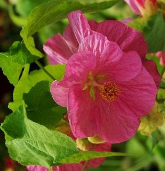Abutilon seeds pinkso know as flowering maple mightylinksfo