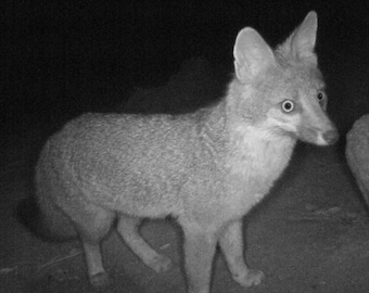 FOX ON ALERT