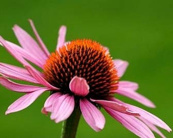 Heirloom Echinacea Purple Coneflower Flower Seed Garden Organic Wildflower or Herb
