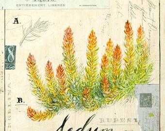 Sedum Print, Succulent Print, Botanical Print, Botanical Illustration, Succulent Illustration
