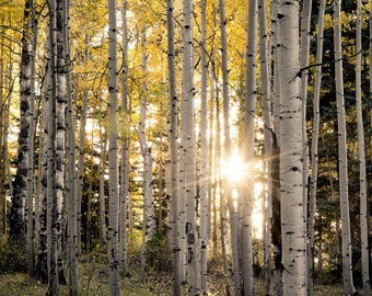 Aspen Trees, fall tree art, Colorado art, sunstar, rustic wall art, cabin decor, yellow gold leaves photo, aspens art | Evening Aspen WoodsV