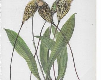 Botanical Print of a Masdevallia Orchid