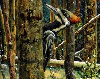Piliated Woodpecker - Limited Edition Reproduction Giclee Print in 16x20 black mat