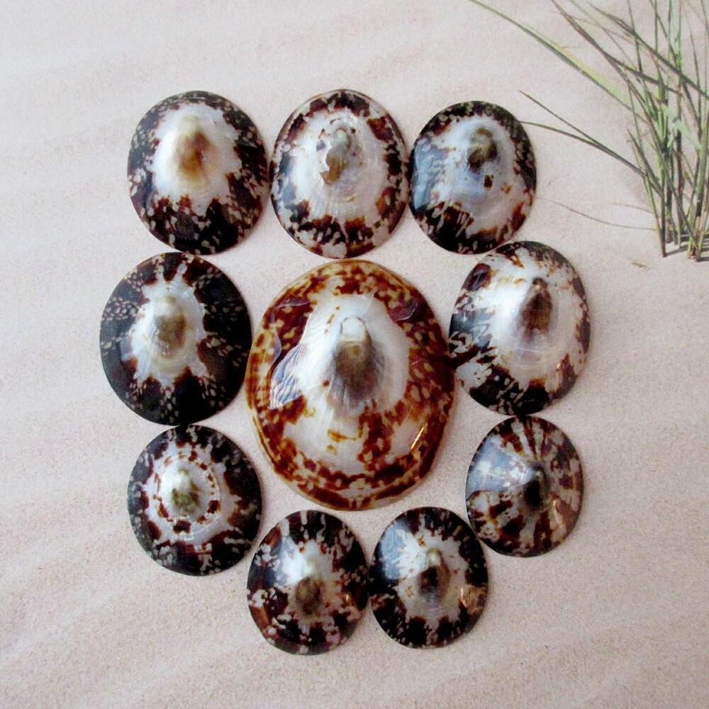 Conchas de lapa (10 Uds.) Conchas de Lapa marrón, a granel conchas ...