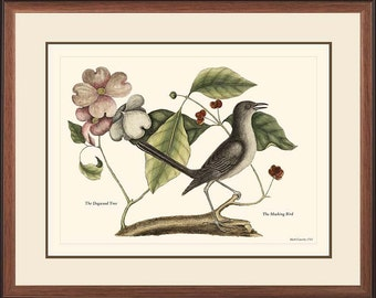 MOCKING BIRD - Catesby Vintage bird print reproduction 27