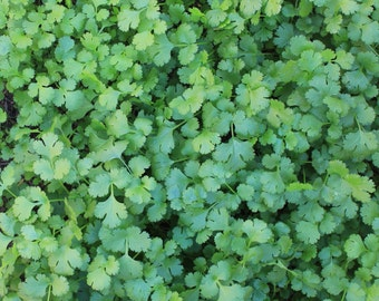 Wild West Organics Lush Organic Cilantro Seeds (Coriander)
