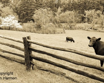 Cows out to pasture on the Blue Ridge Parkway in North Carolina Fine Art Photo