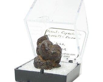 Reptile Coprolite, Fossil Dung, Prehistoric Organic Stone, from the Eocene of Madagascar, Turtle Poop in a small museum display box