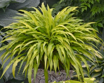 HOSTA 'CURLY FRIES'.  Perennial.  Plant.