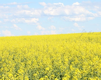 Golden Sea, Fine Art Photography Print, Canola Field, Pastel Blue Sky, Countryside, Alberta Prairies