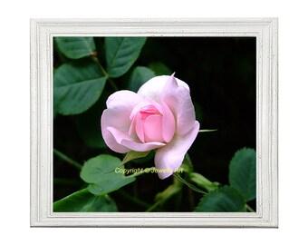 Pale Pink Rose Photographic Print, Instant Digital Download, Floral Print, Printable Art, Art Print, Art & Collectibiles