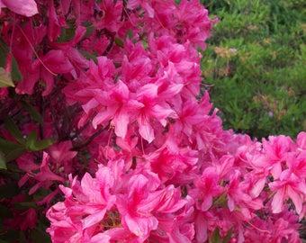 Hot Pink Azaleas Photography Print