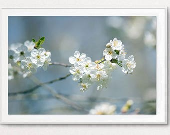 Photography flowering branch cherry - ceriseir in bloom - flowering cherry - flowering cherry decor - wall photo nature decor