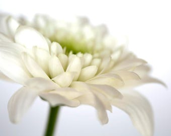 Flower Photography, White Chrysanthemum, Flower Photo, Fine Art Print, White Flower, Floral Photography, Close Up, Studio Photography