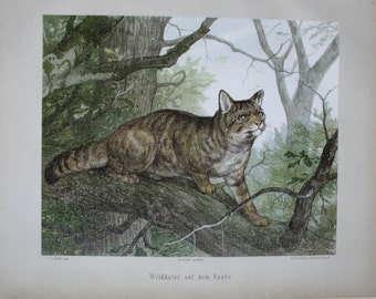 antique print wild cat 1897