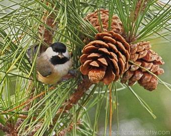 Wildlife Photography, Cute Bird Photograph, Chickadee Wall Art, Pine Cone Photo, Green and Brown Bird Print, Woodland Decor, Nature Picture