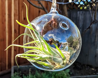 Hanging Glass Globe Air Plant Terrarium Kit with Air Plant and Cholla Wood