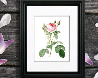 Redoute Rose Print no. 1, unframed Pink Rose art, Single Rose wall art, Pink rose home decor, Pink rose artwork by Pierre-Joseph Redoute