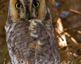 Long Earred Owl in a Tree