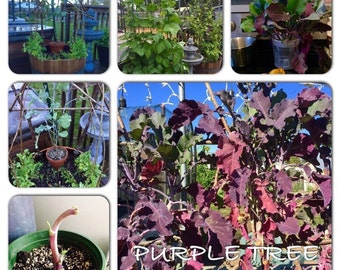Organic Purple tree collard perennial (kale)