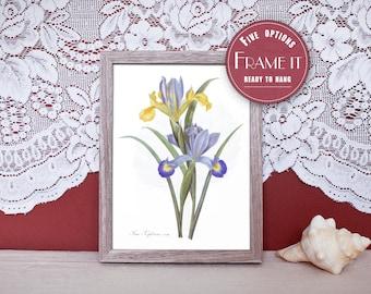 """Vintage illustration of Irises - framed fine art print, flower art, 8""""x10"""" ; 11""""x14"""", FREE SHIPPING - 137"""